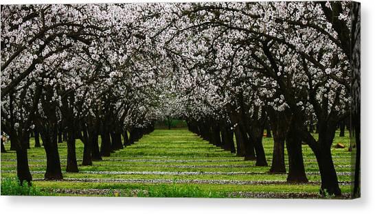 Almond Orchard Canvas Print