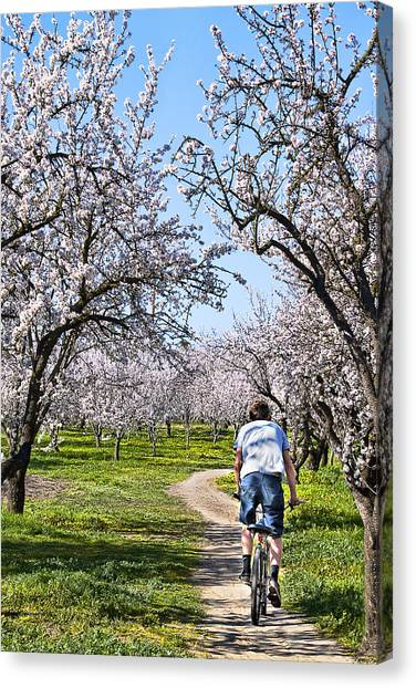 Almond Orchards In Full Bloom Canvas Print