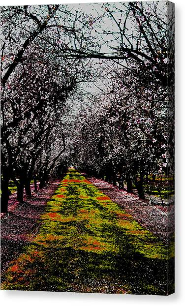 Almond Trees In Bloom Canvas Print