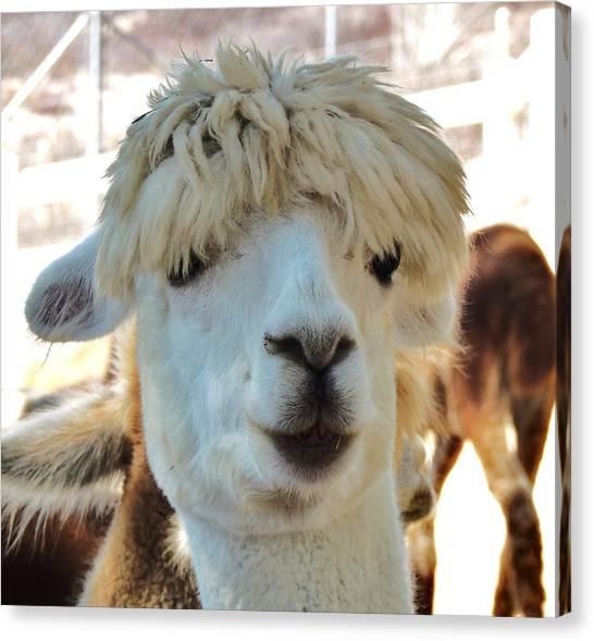 Alpaca Hair Do Canvas Print