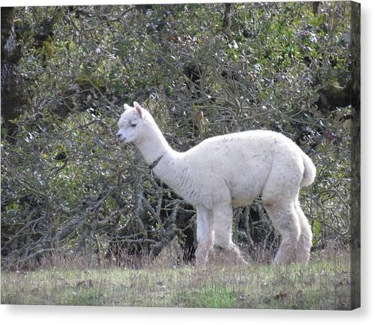 Alpaca Stroll Canvas Print