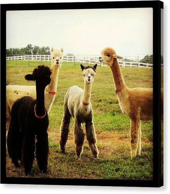 Llamas Canvas Print - Alpacas At Sunset Hills Farm #alpacas by Laura Doty