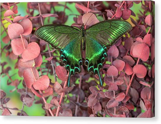 Alpine Black Swallowtail Butterfly Canvas Print by Darrell Gulin