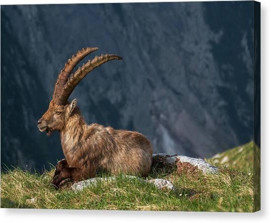 Alps Canvas Print - Alpine Ibex by Ales Krivec