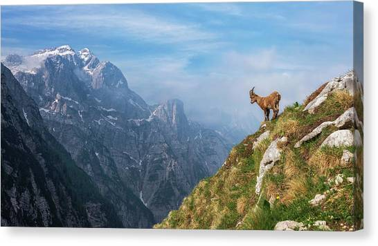 Alps Canvas Print - Alpine Ibex In The Mountains by Ales Krivec