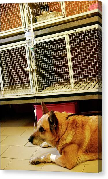 German Shepherds Canvas Print - Alsatian On A Drip by Mauro Fermariello/science Photo Library