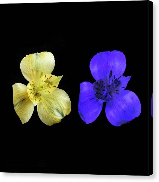 Peruvian Canvas Print - Alstroemeria Flowers In Uv And Daylight by Science Photo Library