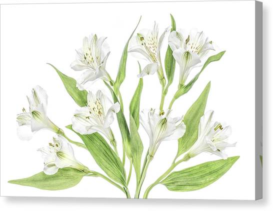 Peruvian Canvas Print - Alstroemeria by Mandy Disher