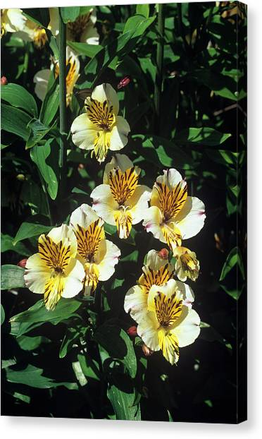 Perennial Canvas Print - Alstroemeria 'sovereign' by Tony Wood/science Photo Library