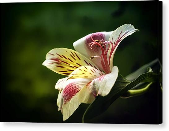 Alstroemeria One Canvas Print