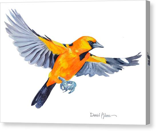 Da200 Altimira Oriole By Daniel Adams  Canvas Print