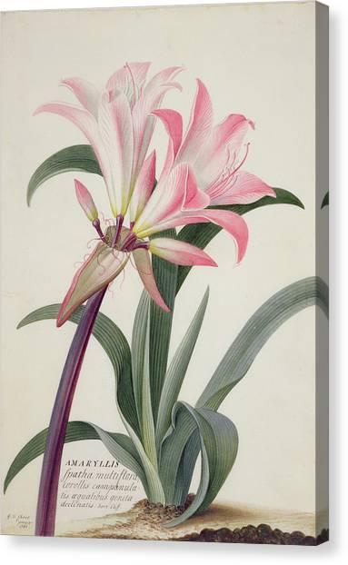 Lilies Canvas Print - Amaryllis Belladonna, 1761 by Georg Dionysius Ehret