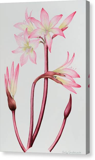 Amaryllis Canvas Print - Amaryllis Belladonna by Sally Crosthwaite