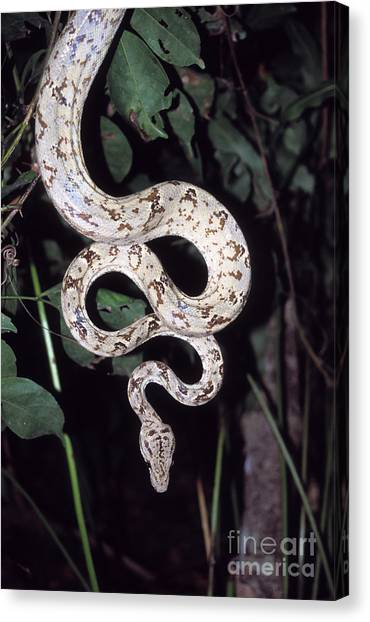 Boa Constrictor Canvas Print - Amazon Tree Boa by James Brunker