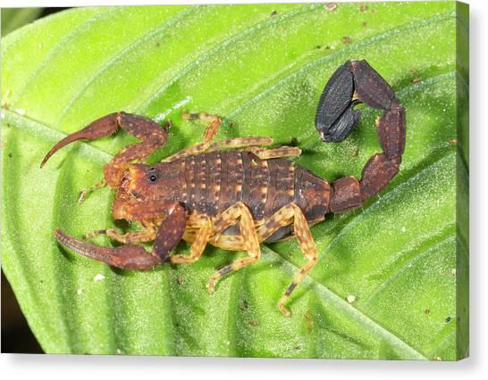 Amazon Rainforest Canvas Print - Amazonian Scorpion by Dr Morley Read