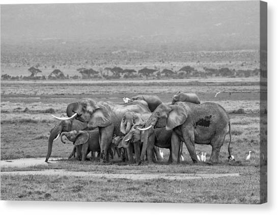 Amboseli Ellies Canvas Print