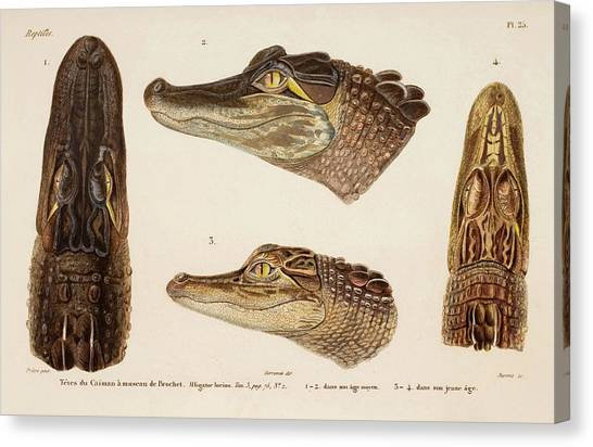 American Alligator Canvas Print by Natural History Museum, London/science Photo Library