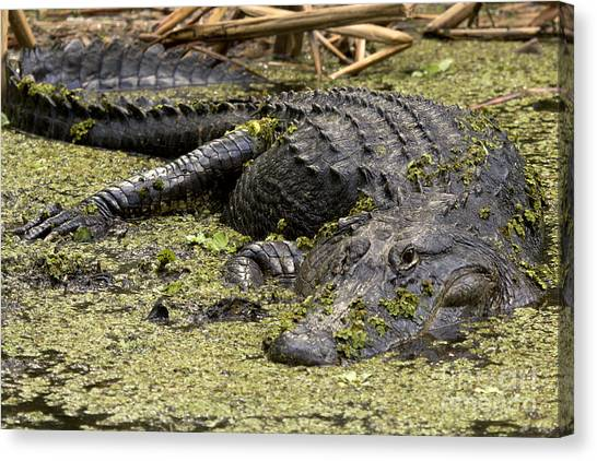 American Alligator Smile Canvas Print