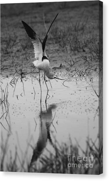 American Avocet Reflection Canvas Print