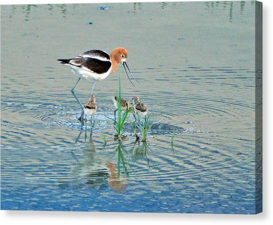 American Avocet With Young Canvas Print