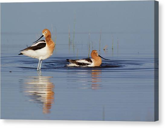 American Avocets Bathing Canvas Print by Ken Archer