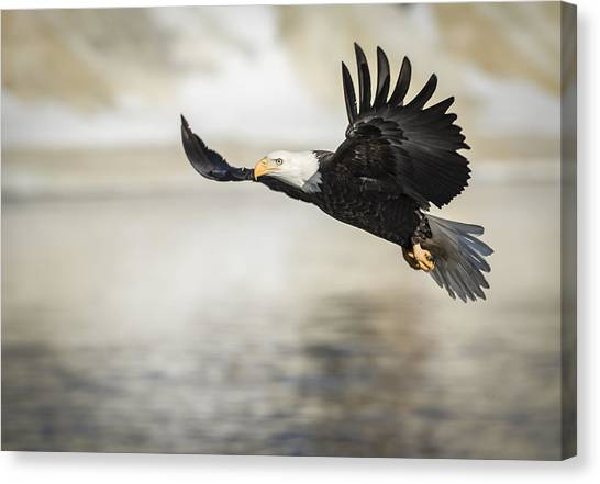 American Bald Eagle 2015-22 Canvas Print
