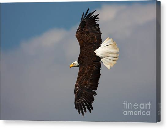 American Bald Eagle In Flight Canvas Print