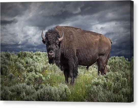 American Buffalo Or Bison In Yellowstone Canvas Print