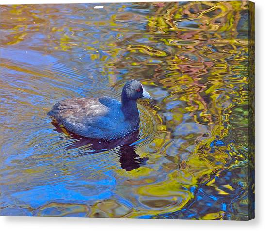 American Coot Canvas Print