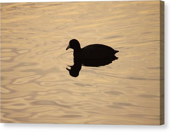 American Coot Silhouette Canvas Print by Brian Magnier