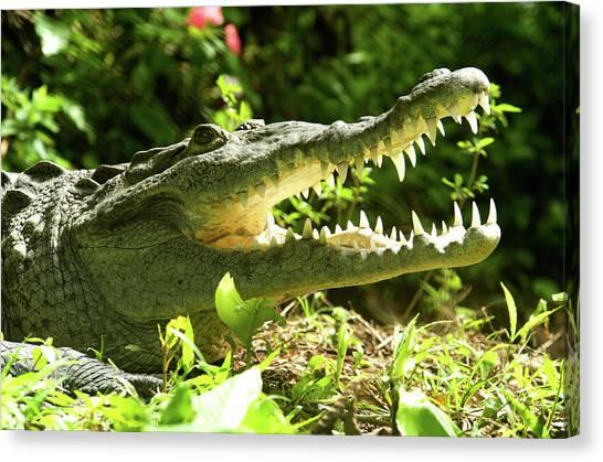 Crocodiles Canvas Print - American Crocodile (crocodylus Acutus by Andres Morya Hinojosa