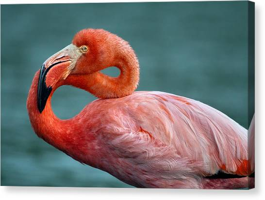 American Flamingo In Galapagos Canvas Print