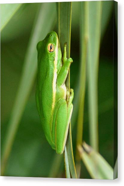 American Green Tree Frog Canvas Print
