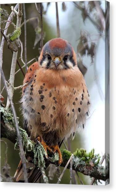 Falcons Canvas Print - American Kestrel by Angie Vogel