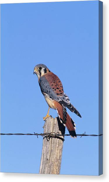 Cavity Canvas Print - American Kestrel (falco Sparverius by Richard and Susan Day