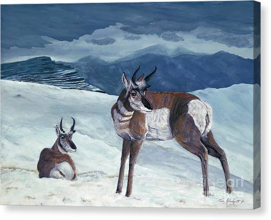 American Pronghorn Canvas Print