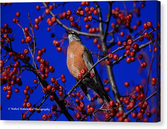 American Robin Canvas Print by Wahed Mohammed
