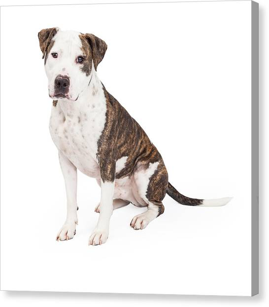 Brindle Canvas Print - American Staffordshire Terrier Cross Dog Sitting by Susan Schmitz