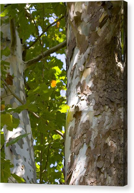 American Sycamore Canvas Print by Denise Beverly
