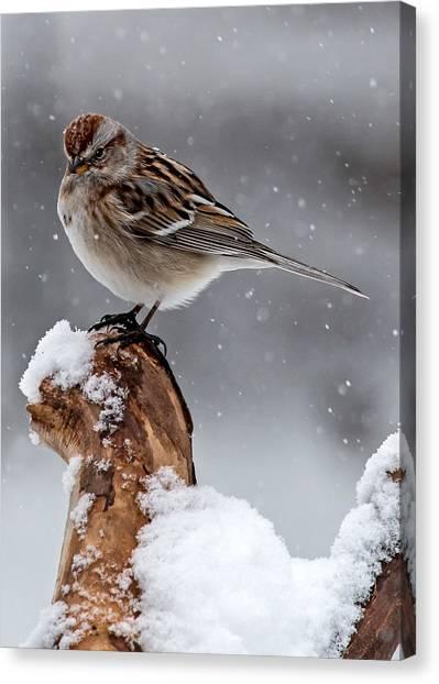 American Tree Sparrow In Snow Canvas Print