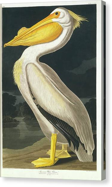 Canvas Print - American White Pelican by Natural History Museum, London/science Photo Library