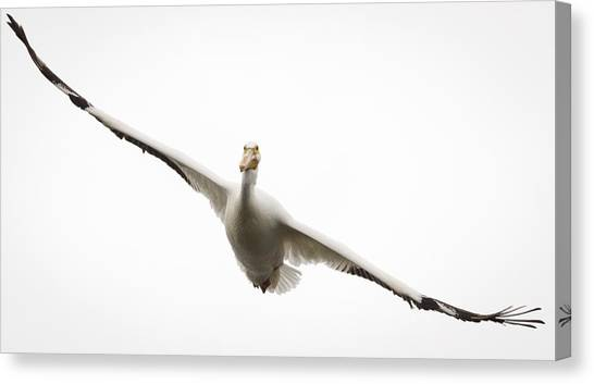 American White Pelican Canvas Print by Ricky L Jones