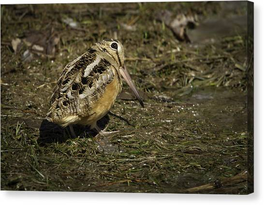 Woodcock Canvas Print - American Woodcock 2 by Thomas Young
