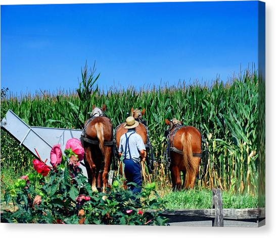Amish Plowing Canvas Print