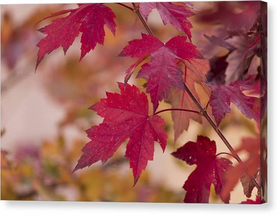 Maple Trees Canvas Print - Among Maples by Chad Dutson