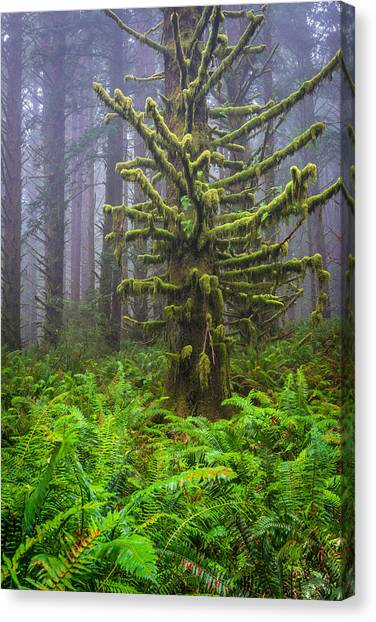 Among The Redwoods Canvas Print by Mike  Walker
