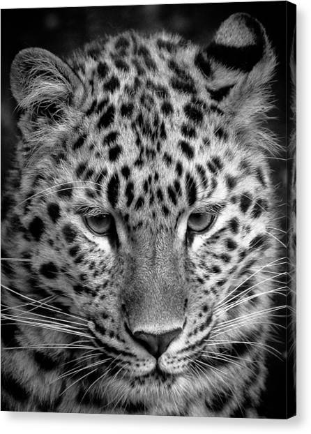 Amur Leopard In Black And White Canvas Print