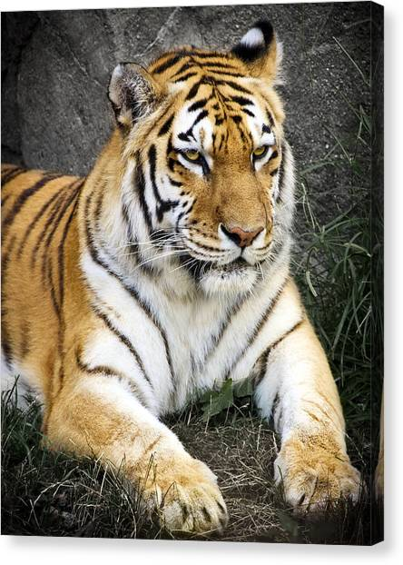 Siberian Canvas Print - Amur Tiger by Adam Romanowicz