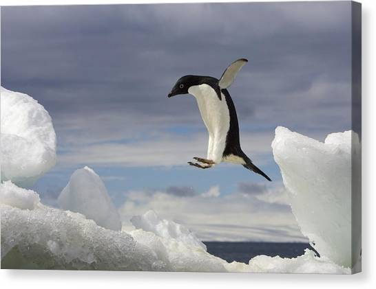 An Adelie Penguin, Pygoscelis Adeliae Canvas Print by Ralph Lee Hopkins