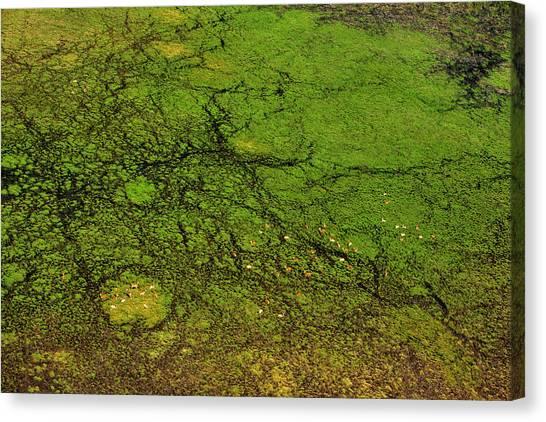 Okavango Swamp Canvas Print - An Aerial View Of A Herd Of Lechwe by Beverly Joubert